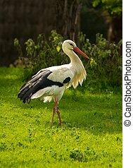 gólya, gyalogló, képben látható, egy, kaszáló