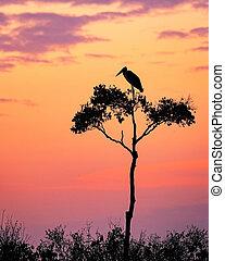 gólya, képben látható, akác fa, alatt, afrika, -ban, napkelte