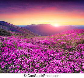 góry., kwiaty, magia, rododendron, różowy