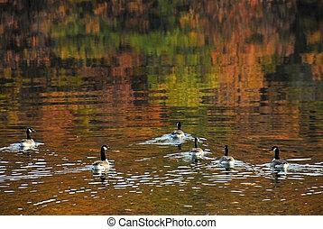 gęsi, swiimming, na, jezioro, w, jesień