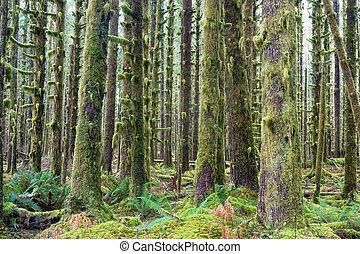 głęboki, drzewa, cedr, wzrost, zielony, hoh, mech,...
