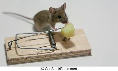 głodny, mysz, jedzenie, ser