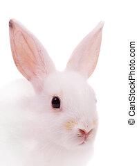 głowa, biały królik