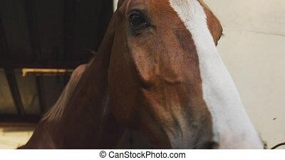 głowa, dressage, ruchomy, jego, przez, koń, stajnia