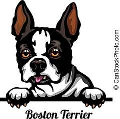 głowa, psy, boston, tło, odizolowany, pies, kolor, biały, ...