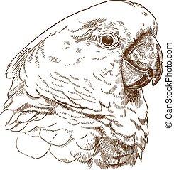 głowa, rysunek, biała kakadu, rytownictwo, ilustracja
