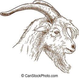 głowa, rytownictwo, ilustracja, goat