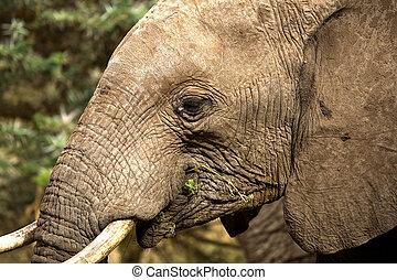 głowa, słoń