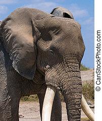 głowa, stary, słoń