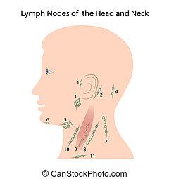 głowa, wierzchołki, eps10, szyja, limfa
