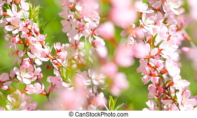 gałęzie, kwitnąc