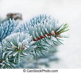 gałęzie, od, błękitny, świerk, jest, nakrywany z mrozem