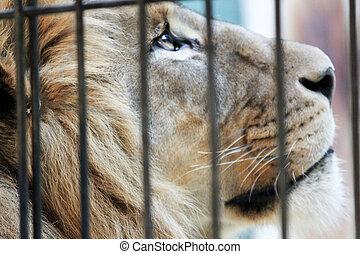 gabbia, leone