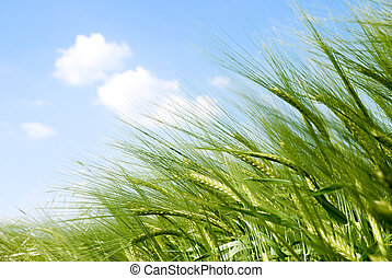 gabonanemű, bedugaszol, a napon