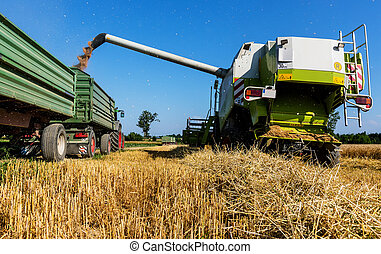 gabonanemű, mező, közül, búza, -ban, betakarít
