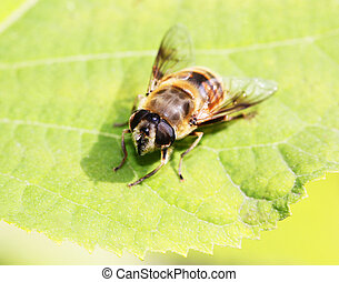 Gadfly insect sitting on a green leaf