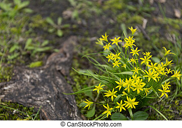 Gagea lutea or the Yellow Star-of-Bethlehem in the spring...