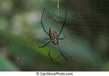 Gaint Long-jawed Orb-weaver in the net