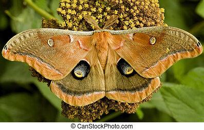 Gaint Moth