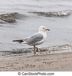gaivota, ligado, nebuloso, praia