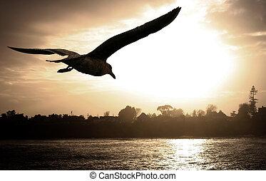 gaivota mar, em, pôr do sol