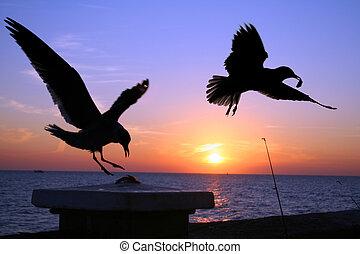gaivotas, em, pôr do sol