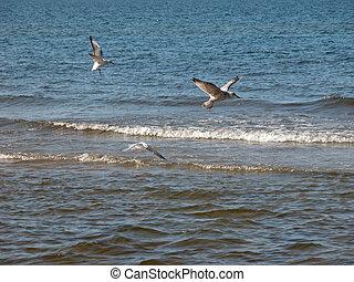 gaivotas, sobre, mar