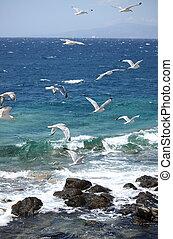 gaivotas, voando