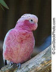 Galah - Rose-breasted Cockatoo