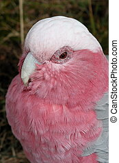 Galah, Rose Cockatoo