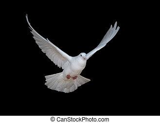 galamb, fehér, repülés, fekete, elszigetelt