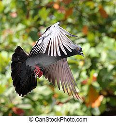 galamb, repülés, természetes