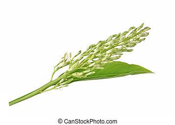 Galanga flower on white background