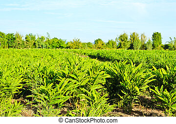 galangal plants in the farm with blue sky background