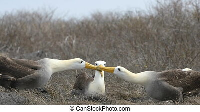 Galapagos Albatross aka Waved albatrosses mating dance courtship ritual on Espanola Island, Galapagos Islands, Ecuador. The Waved Albatross is an critically endangered species endemic to Galapagos.