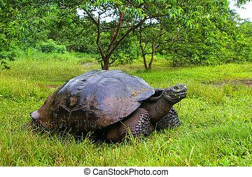 Galapagos giant tortoise on Santa Cruz Island in Galapagos...