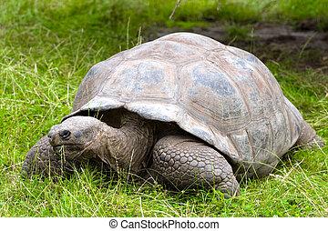 Galapagos giant tortoise - Galapagos giant tortoise on grass...