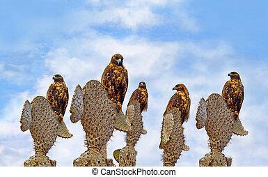 Galapagos Hawks on Santa Fe - A group of Galapagos Hawks on...