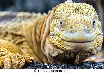 Galapagos Land Iguana Face