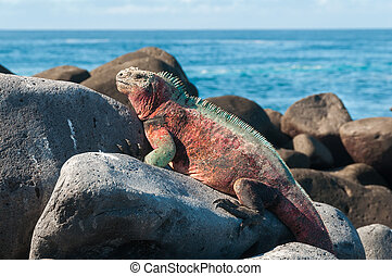 A Galapagos marine iguana warming itself in the sun. The only sea-going lizard needs to warm up before diving as being cold blooded it can only stay in the water for short periods.