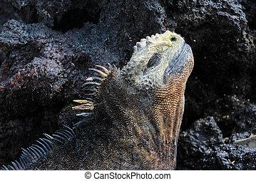 Galapagos Marine Iguana head