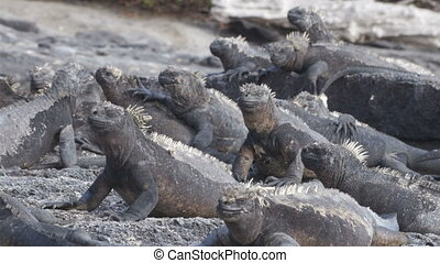 Galapagos Marine Iguana - Iguanas warming in the sun on...