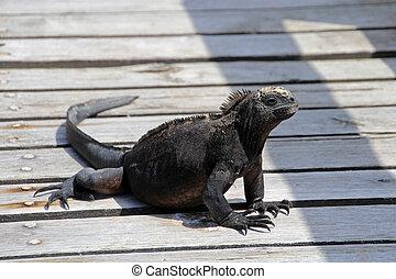 Galapagos Marine Iguana walking
