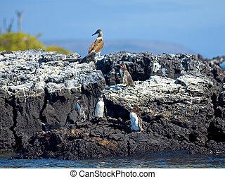 Galapagos Penguins looking around at Isabela, Galapagos