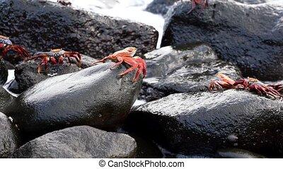 Galapagos Sally Lightfoot Crab - Closeup of Several..