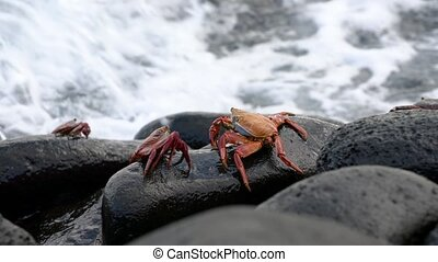 Galapagos Sally Lightfoot Crab - Pair on Rock With Surf..
