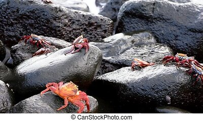 Galapagos Sally Lightfoot Crab - Several On Rocks In Front of Surf..