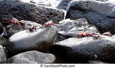 Galapagos Sally Lightfoot Crab - Several Scurry Under Surf..