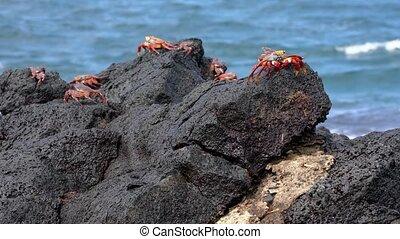 Galapagos Sally Lightfoot Crab - Several Sit On Rocks..