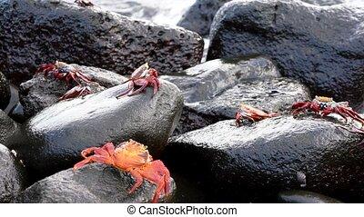 Galapagos Sally Lightfoot Crab - Several Walk on Rocks..
